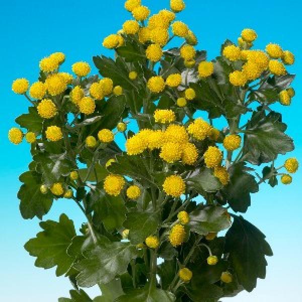 Аджания цветок фото